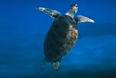 Komodo Island Turtle